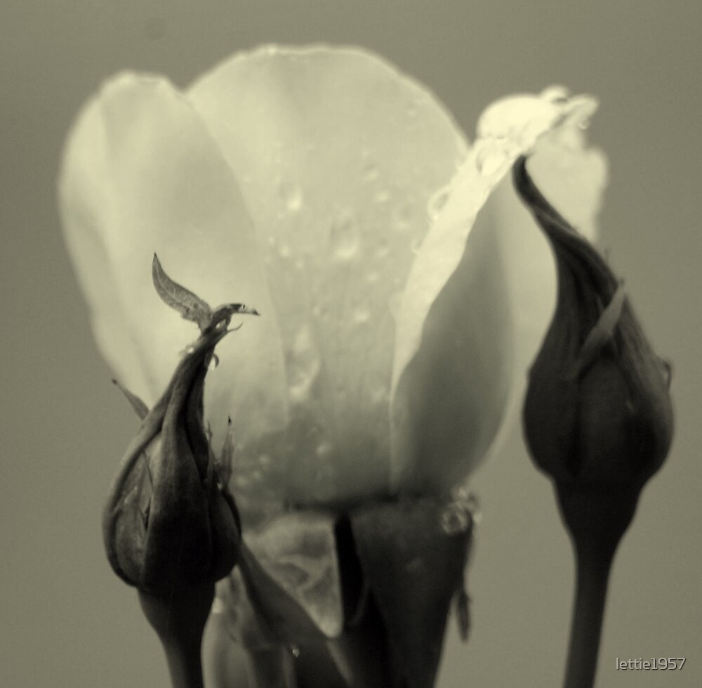 Rosebud in tinted black and white  by lettie1957