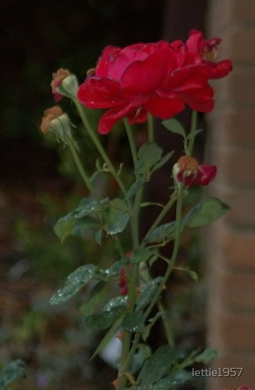 Red Rose  by lettie1957