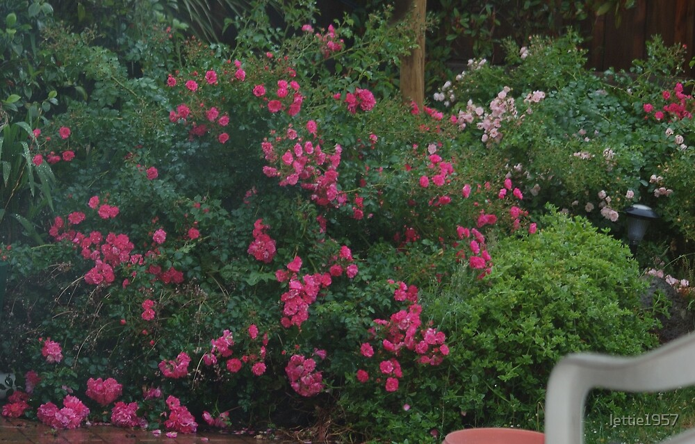 Carpet Roses in my garden  by lettie1957
