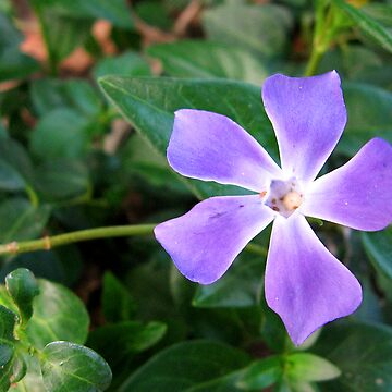 Periwinkle by Himei