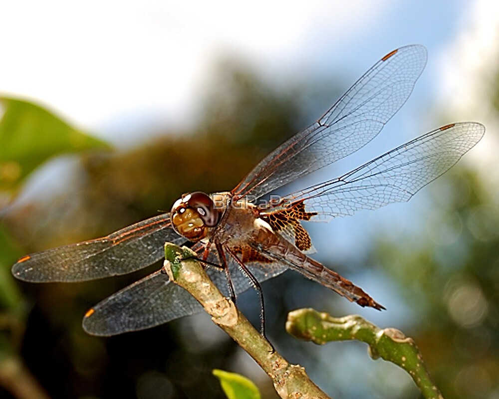 Dragonfly by BiGPaPa