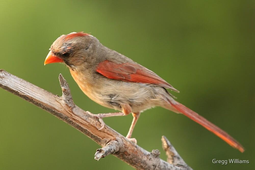 Female Cardinal by Gregg Williams