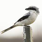Loggerhead Shrike by SuddenJim
