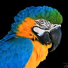 Blue and Gold Macaw by Paul Lenharr II