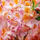Azaleas by PhotosByHealy