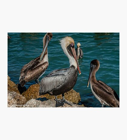 The Pelican King  Photographic Print