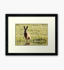 Wild hare close up sat next to water in early morning sunrise light.  Framed Print