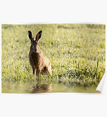 Wild hare close up sat next to water in early morning sunrise light.  Poster