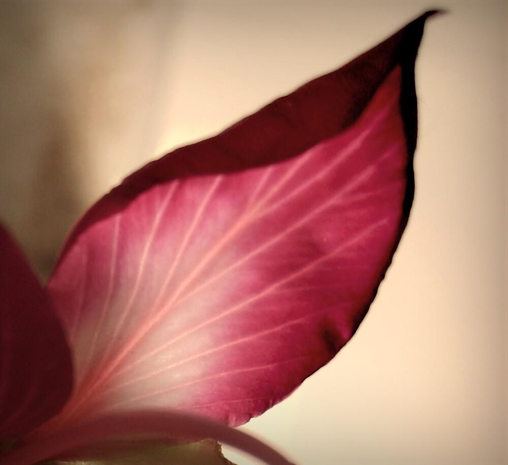 pink petal by grcc