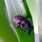 Its a Weevil!!! by Suni Pruett