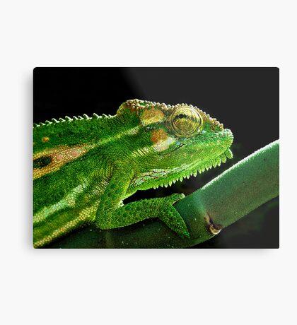 Cape Dwarf Chameleon Metal Print