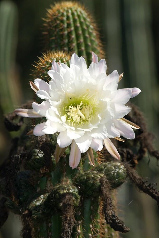 White Cactus Bloom by Eyal Nahmias