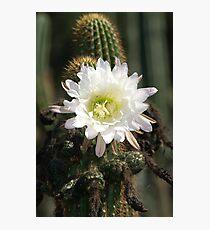 White Cactus Bloom Photographic Print