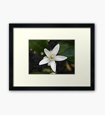 Orange Tree Blossom Framed Print