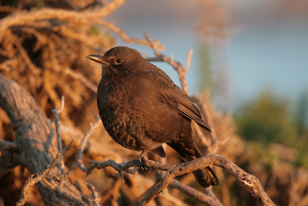 Cheeky Little Blackbird by Monster