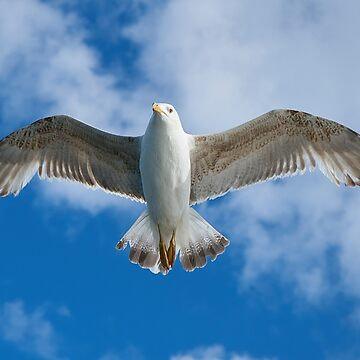 Seagull flying   by lordoftime39