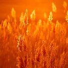 Golden Grass at Sunset by J. D. Adsit
