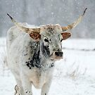 Winter Longhorn by DawsonImages