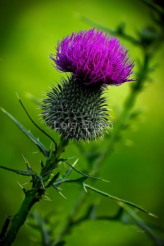 Thistle by Lois Bryan Redbubble