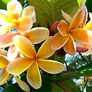 Frangipani # 2 by Virginia McGowan