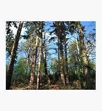 Tall Trees against Blue Sky Arger Fen Suffolk Photographic Print