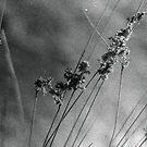 wheat wind by Ryan  Austin