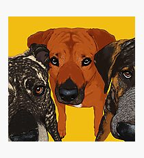 Three Amigos / dog friends rhodesian ridgeback hound pit bull brindle cute buddies pals bff Photographic Print