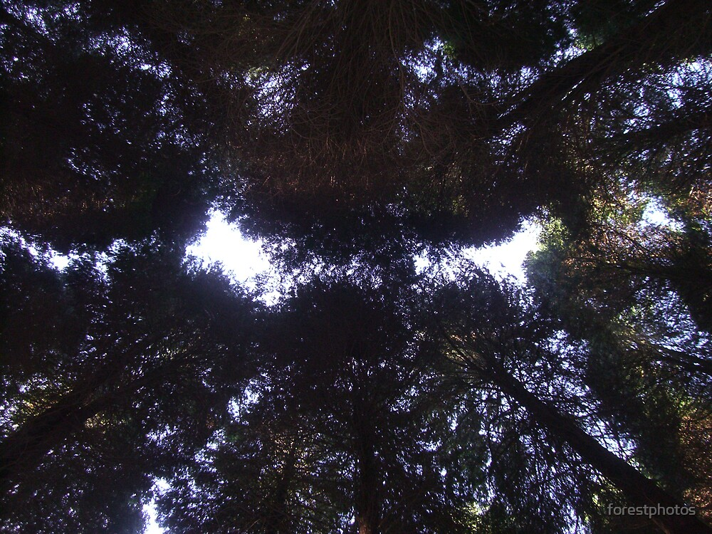 Up in the Pine Trees by forestphotos