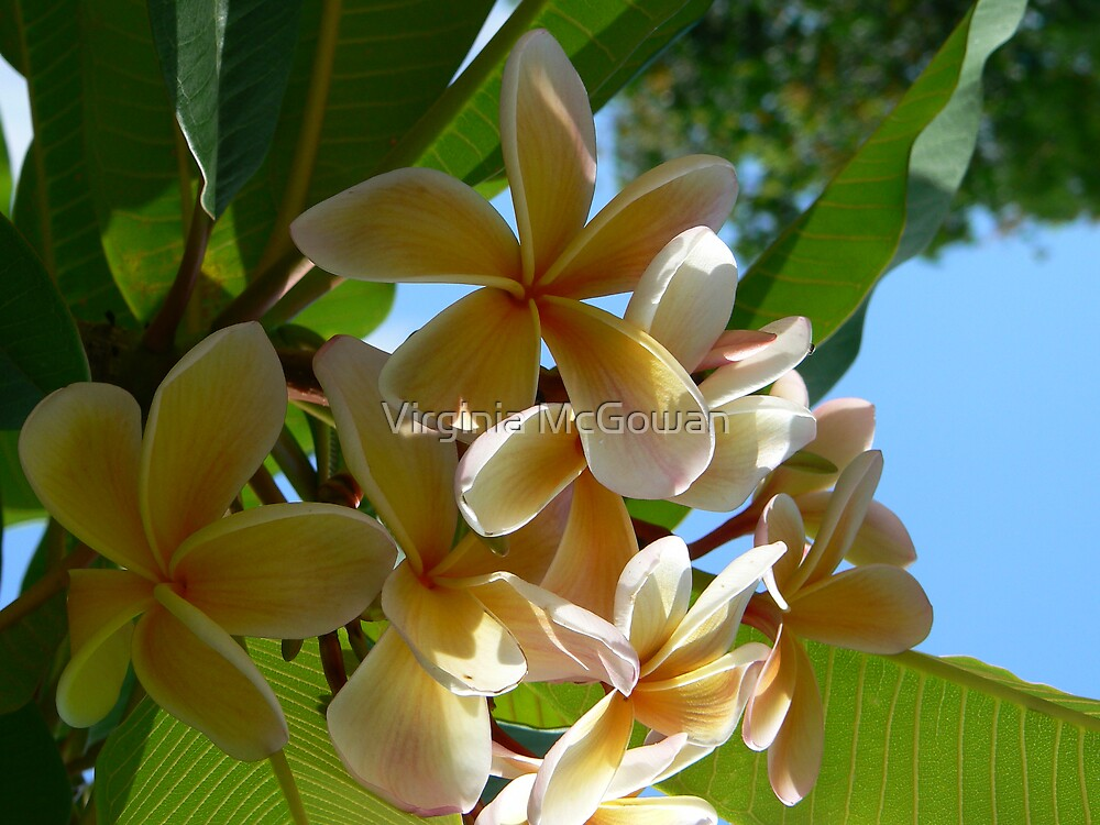 Frangipani # 3 by Virginia McGowan
