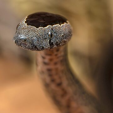Golden-crowned Snake - Cacophis squamulosus Closeup by Normf