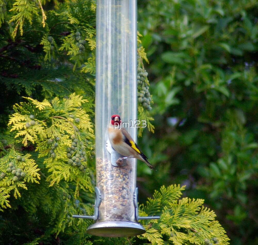 Goldfinch by pjm123