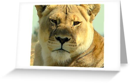 Lioness by Tom Newman