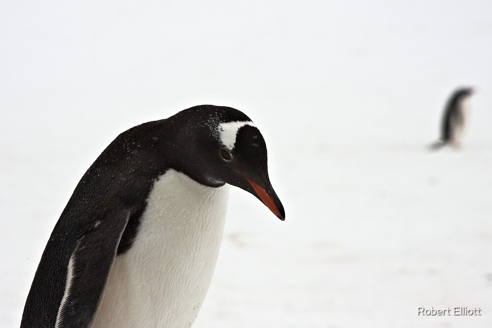 "Gentoo Penguin ~ ""It's a hard life"" by Robert Elliott"