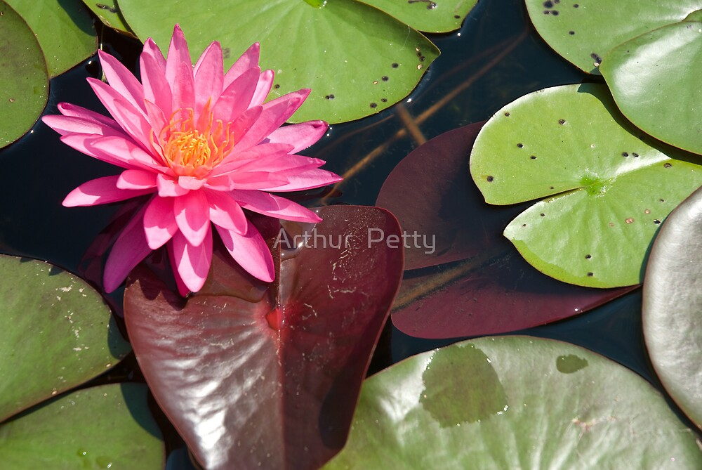 """Pink Lilly by Arthur """"Butch"""" Petty"""