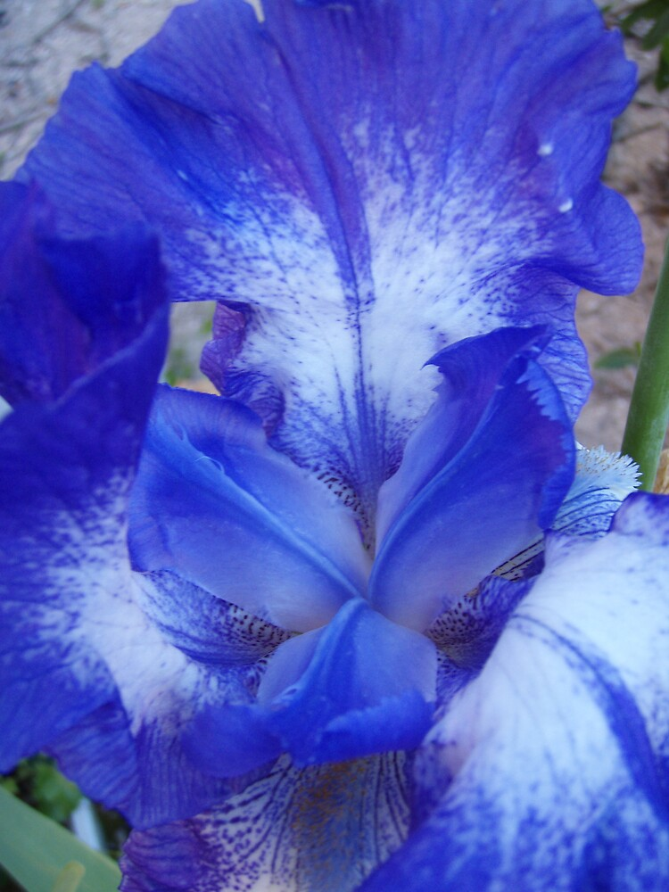 lovely iris by gaylene