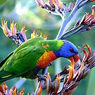 Rainbow Lorikeet by Kathryn Potempski