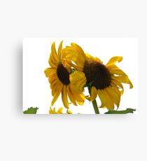Ragged Sunflowers Canvas Print