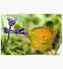 Orange-Barred Sulphur Butterfly Poster