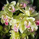Grand yellow boat orchids by zinchik