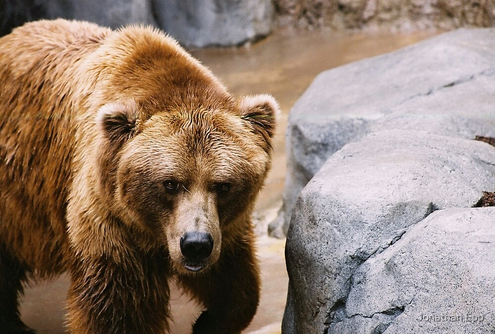Bear Stare by Jonathan Epp