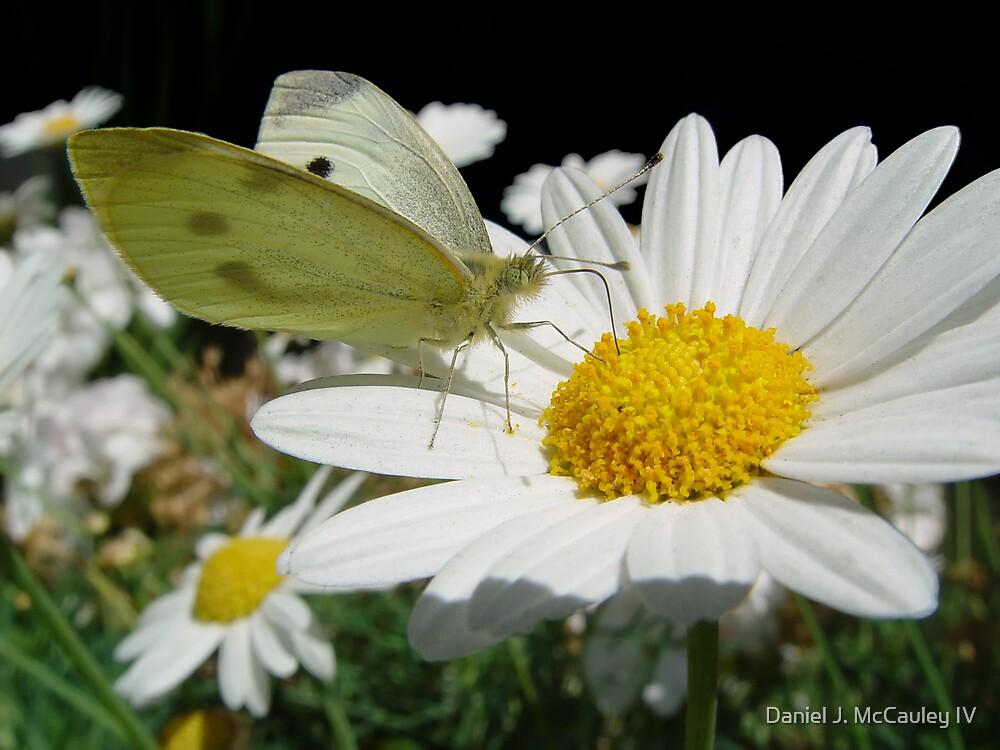Butterfly by Daniel J. McCauley IV
