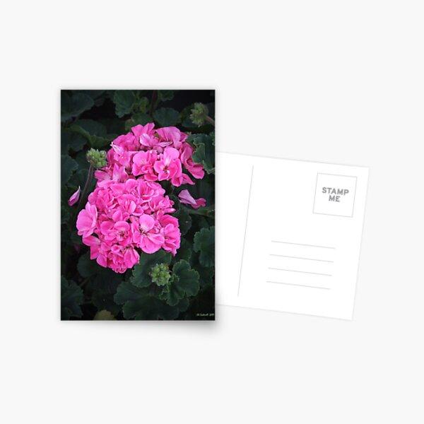 Pink Geraniums Postcard