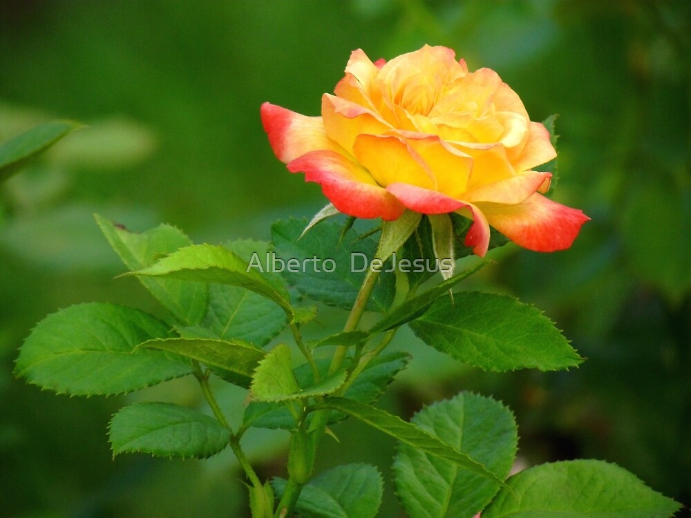 Summer Rose by Alberto  DeJesus
