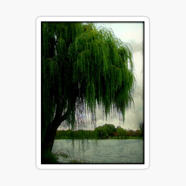 My beautiful weeping willow © Sticker