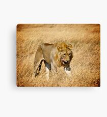 The Hungry Lion Canvas Print