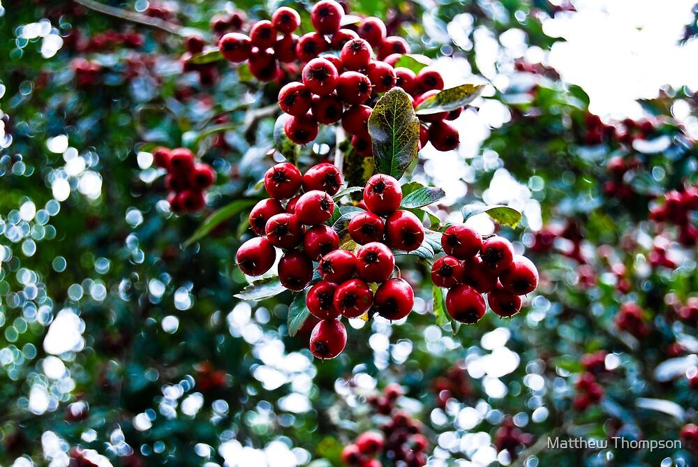 Yew Tree Berries by Matthew Thompson