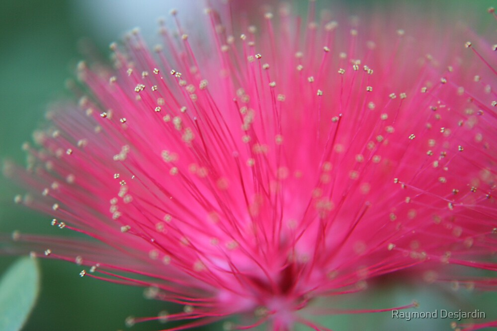 closer to a powder puff bloom by Raymond Desjardin