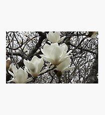 Cambridge Magnolias (NZ) Photographic Print