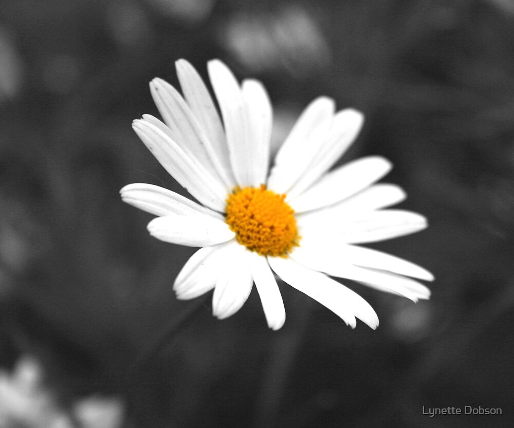 Black and white daisy by Lynette Dobson