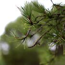 burra pine by Jan Stead JEMproductions